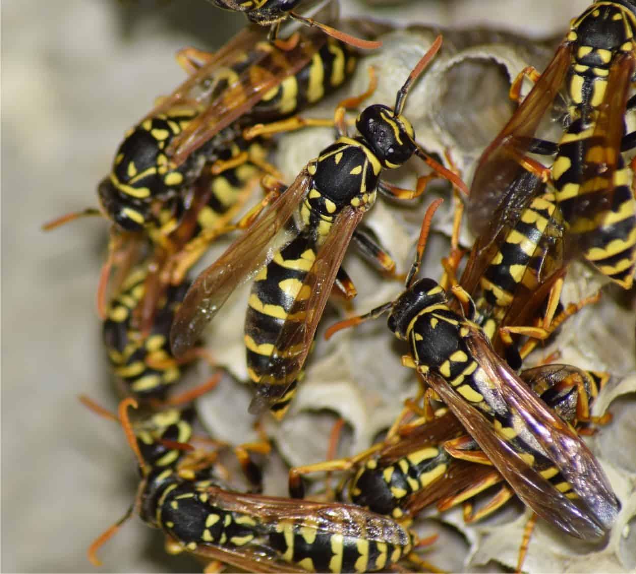 Prevenire la presenza di vespe