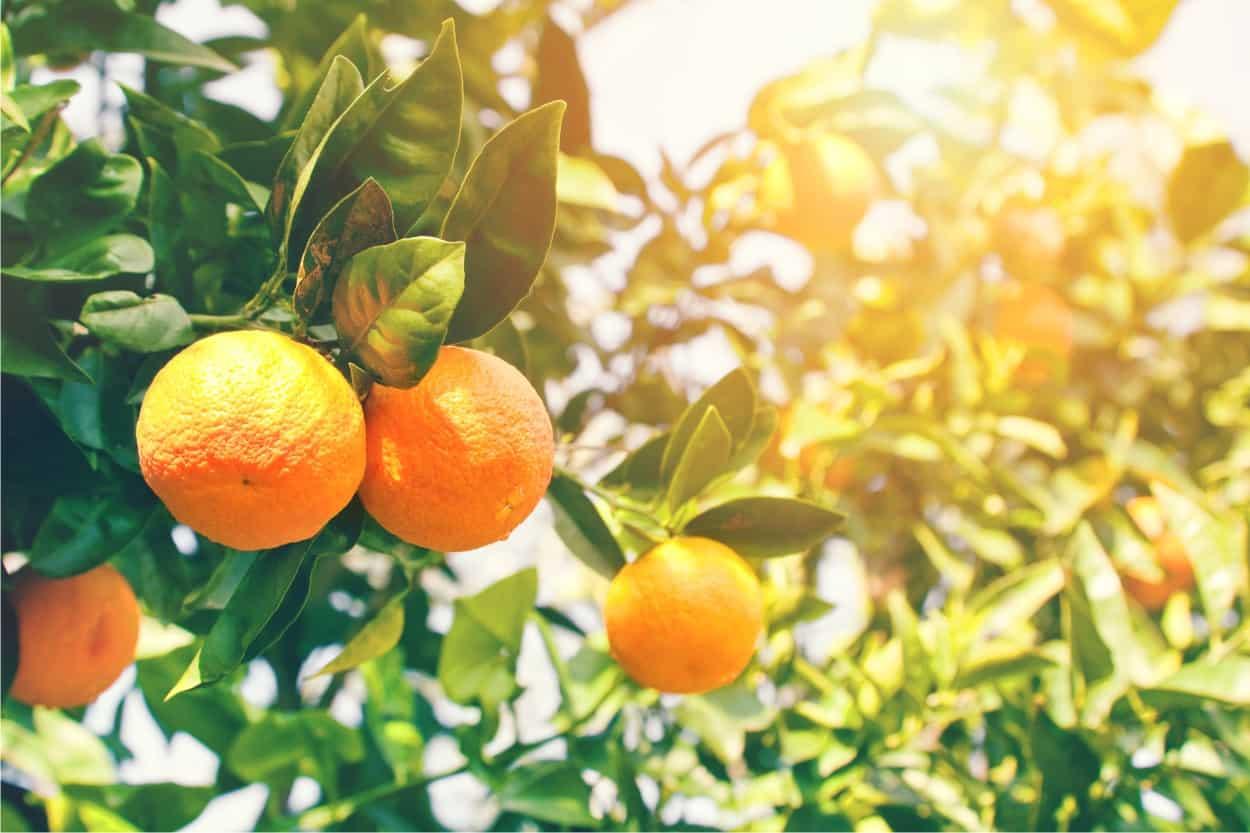 coltivare le arance nell'agrumeto