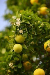 coltivare l'aranceto