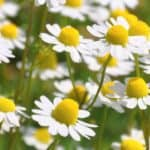 Camomilla: caratteristiche e coltivazione