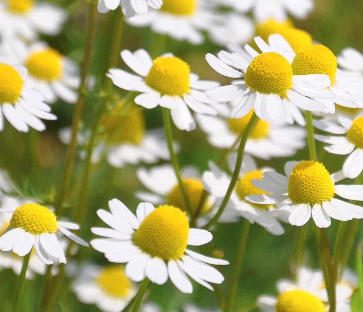 fiori di camomilla