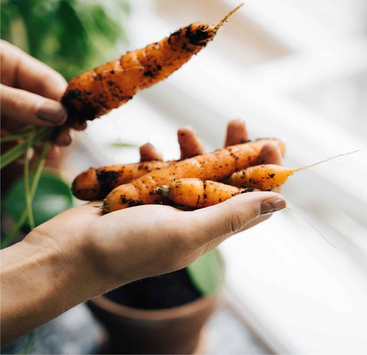 Coltivare le carote in vaso