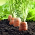 Insetti nocivi per le carote