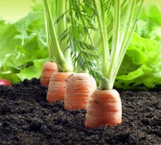 difesa delle carote dagli insetti