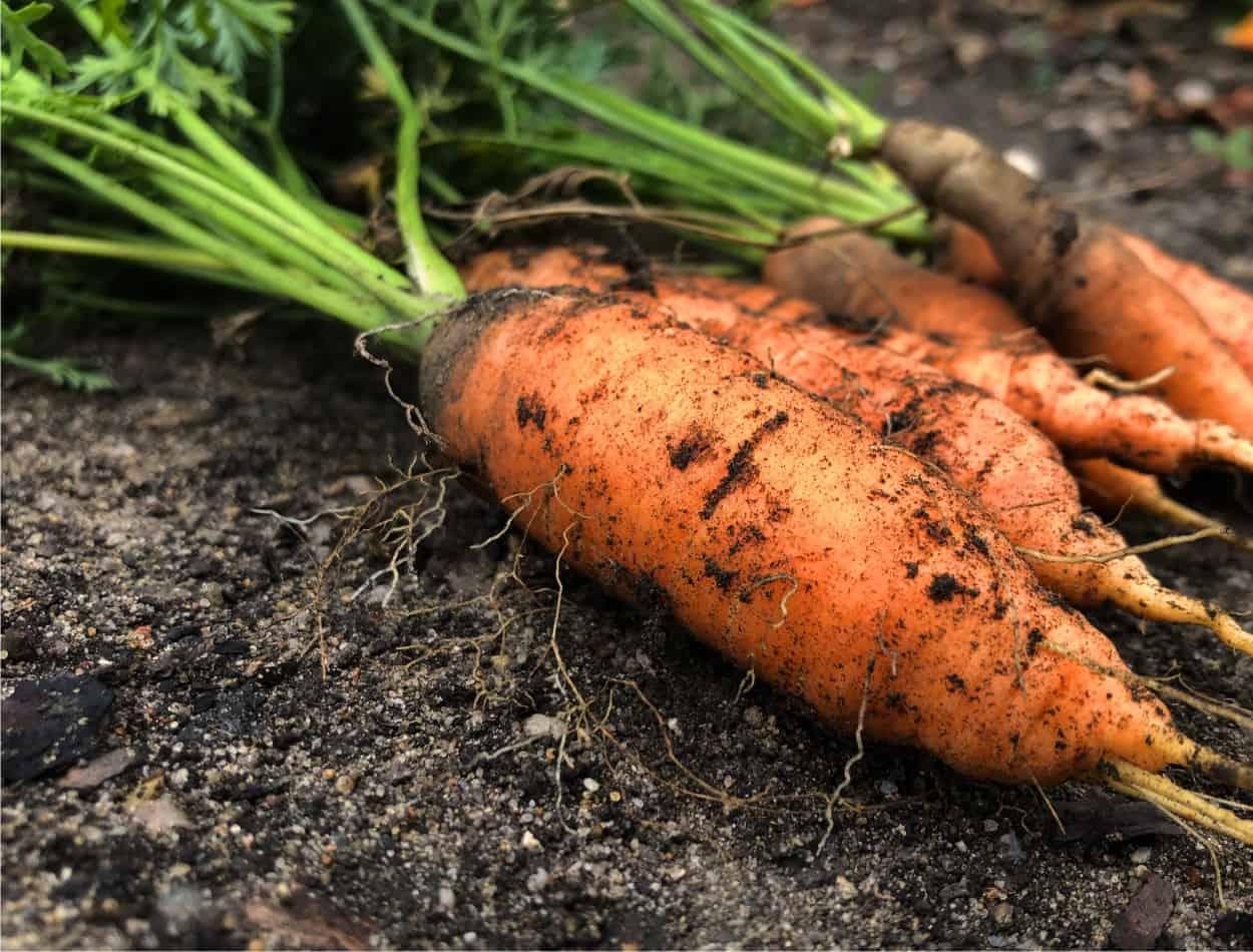 un raccolto di carote