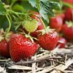 Difendere le fragole dagli insetti