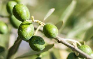la mosca dell'olivo può danneggiare