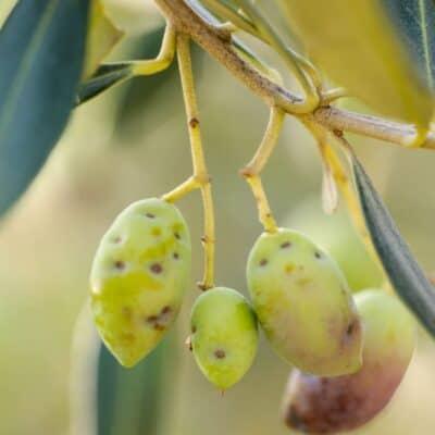 La mosca dell'olivo: come difendersi