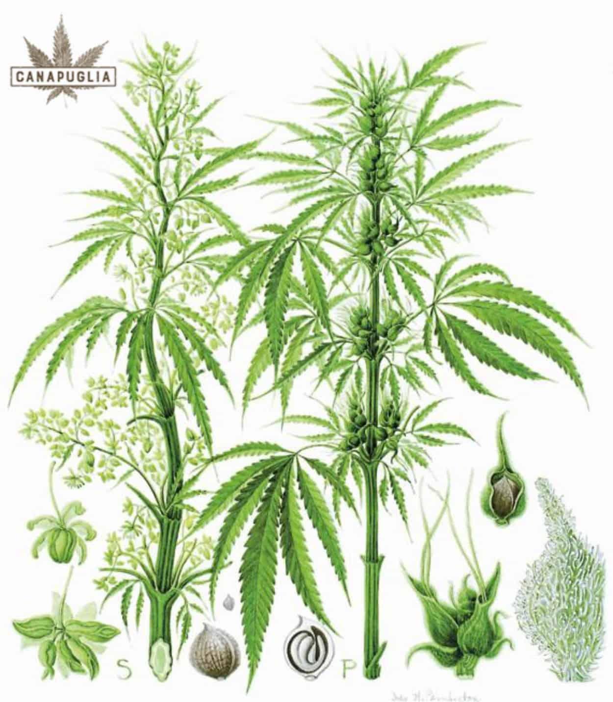 pianta di canapa sativa