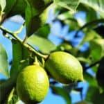 Il limone: la pianta e la sua coltivazione
