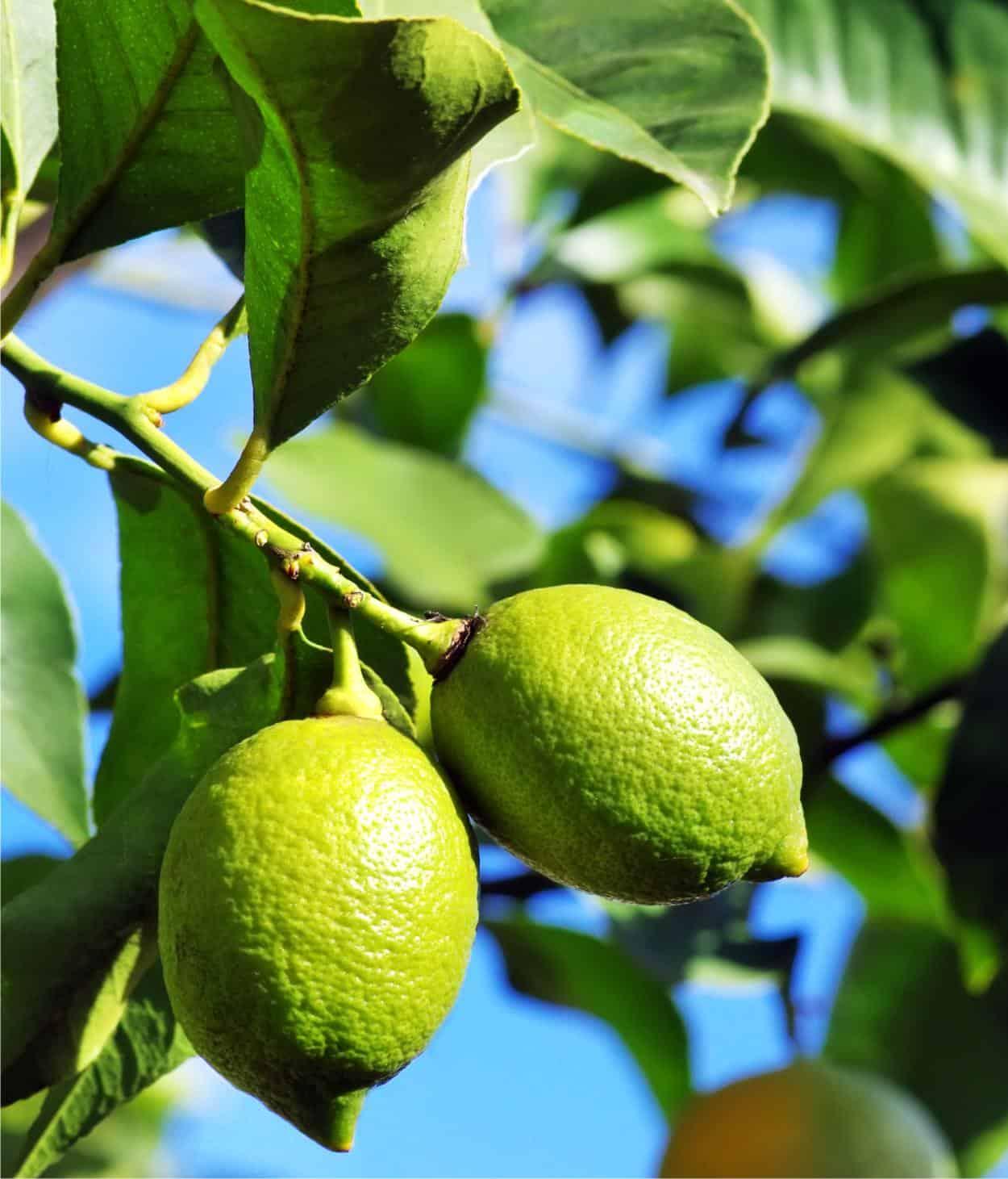 shades of 50% price best online La pianta di limone: coltivazione e caratteristiche | OdC