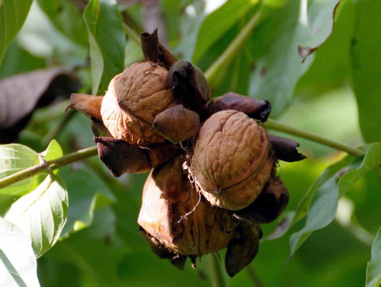 Alberi Ad Alto Fusto Quali Sono noce: caratteristiche dell'albero, coltivazione e potatura
