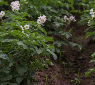 campo di patate concimato