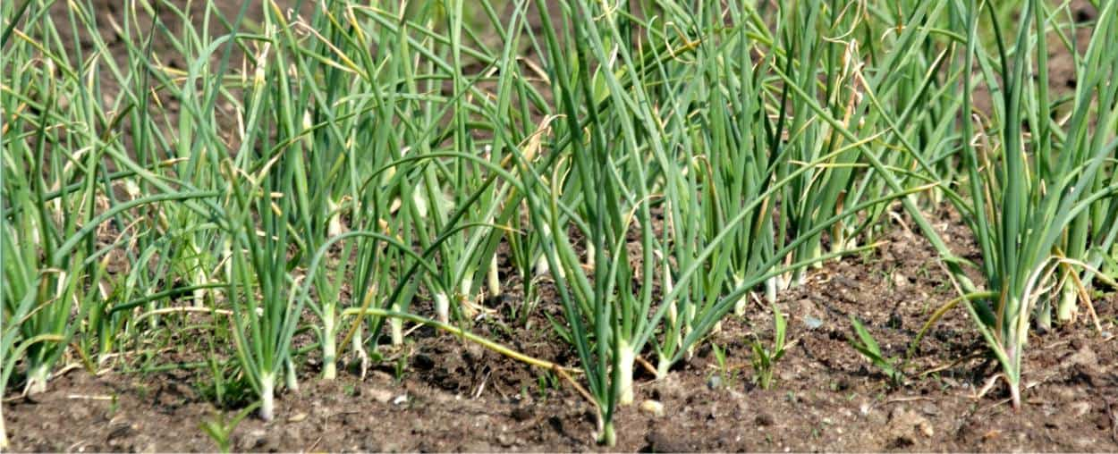 file di piante di aglio