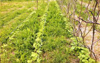 coltivazione elementare: fagiolini ed erbe spontanee