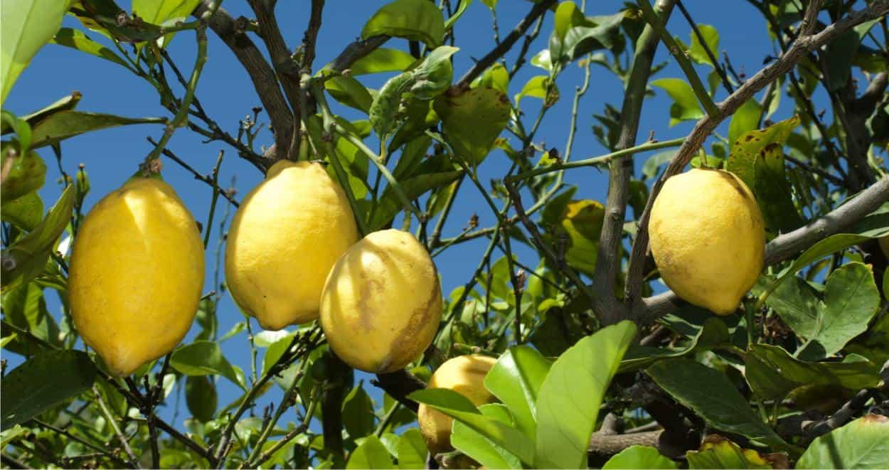 coltivare la pianta del limone