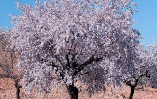 mandorlo: albero in fiore