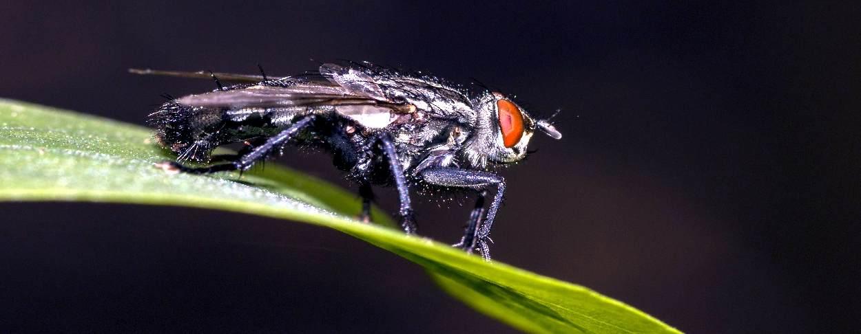 come liberarsi dalle mosche comuni
