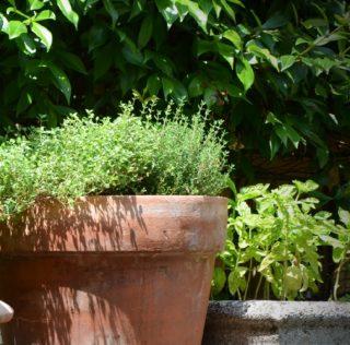 timo coltivato sul balcone