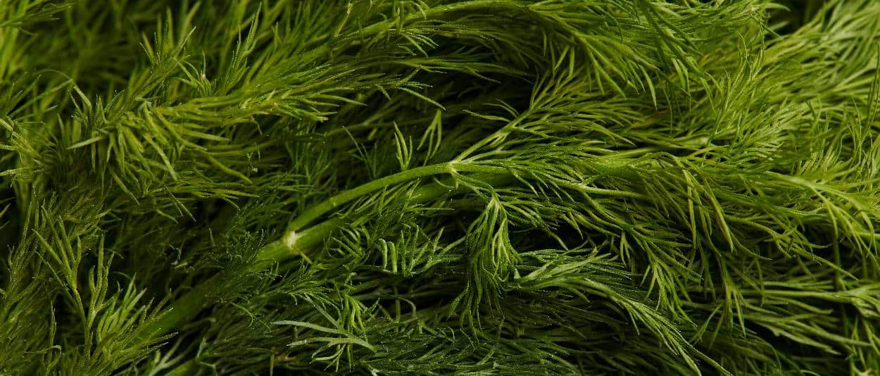 foglie di aneto
