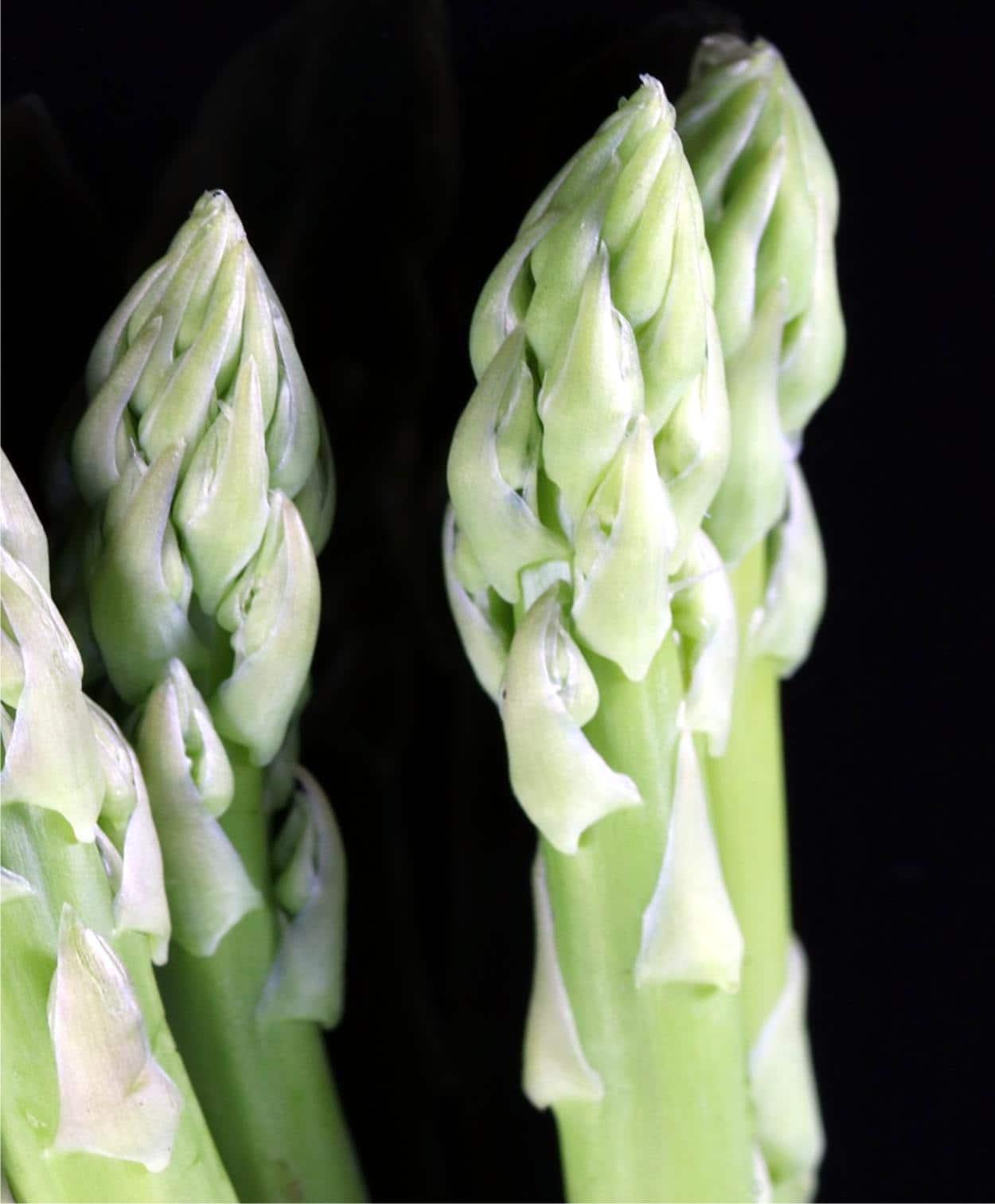 Malattie degli asparagi