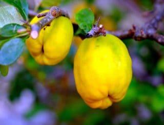 albero potato di melo cotogno