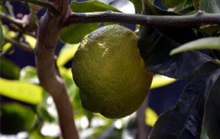 patologie del limone