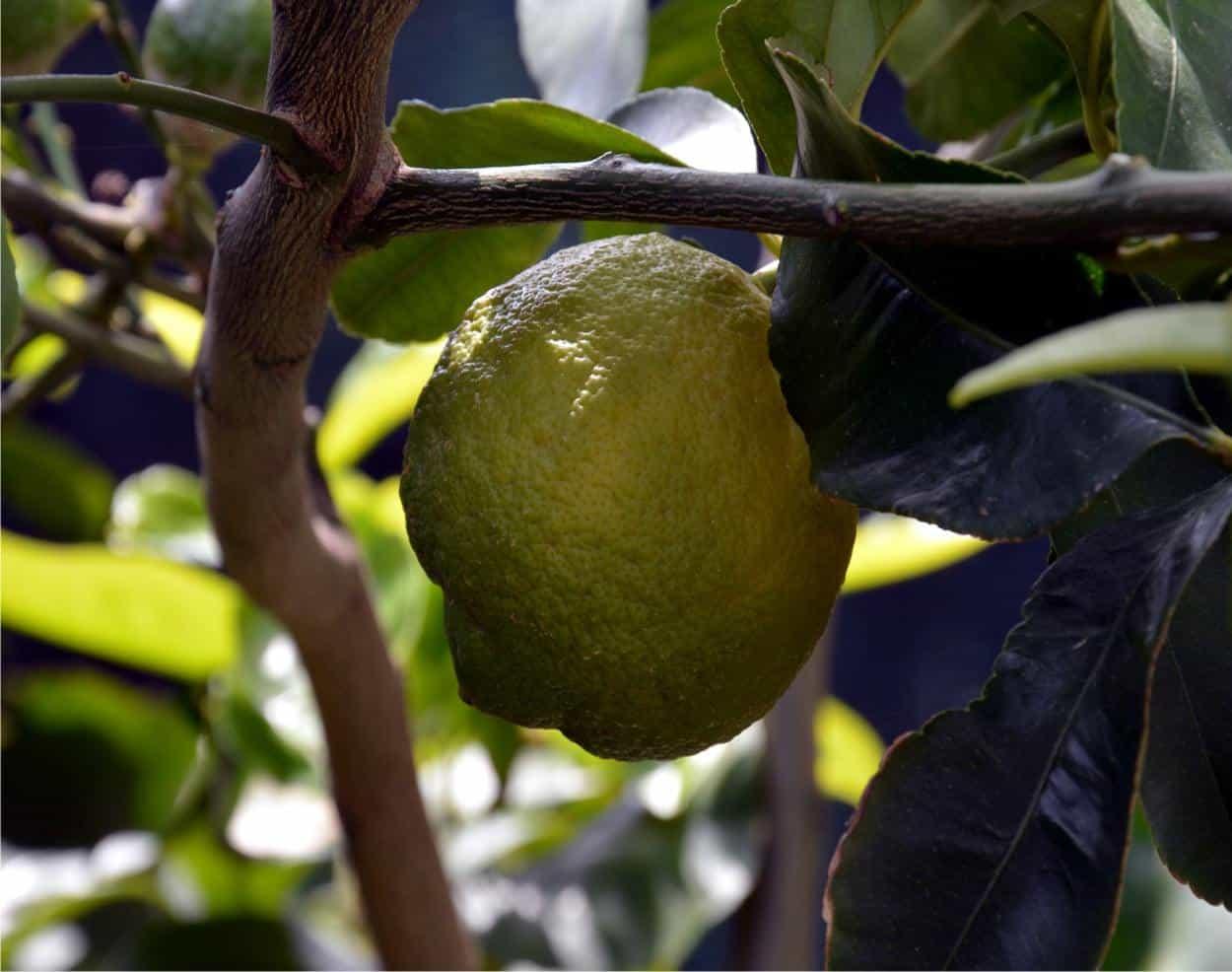 Le principali patologie del limone