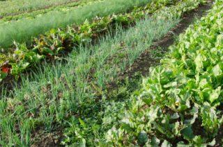 filari di orto biointensivo