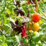 L'orto biointensivo o market garden
