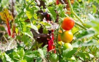 pomodori nell'orto bio