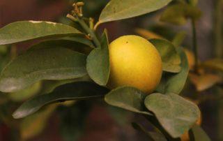 limone e difesa dai parassiti