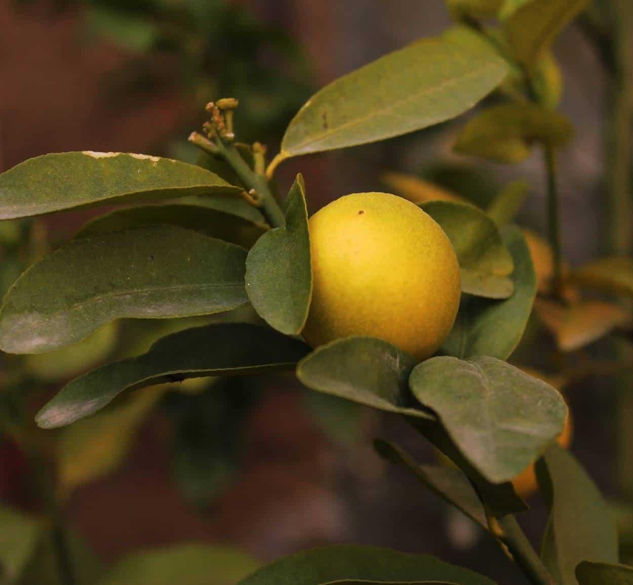 Insetti parassiti del limone: riconoscimento e difesa