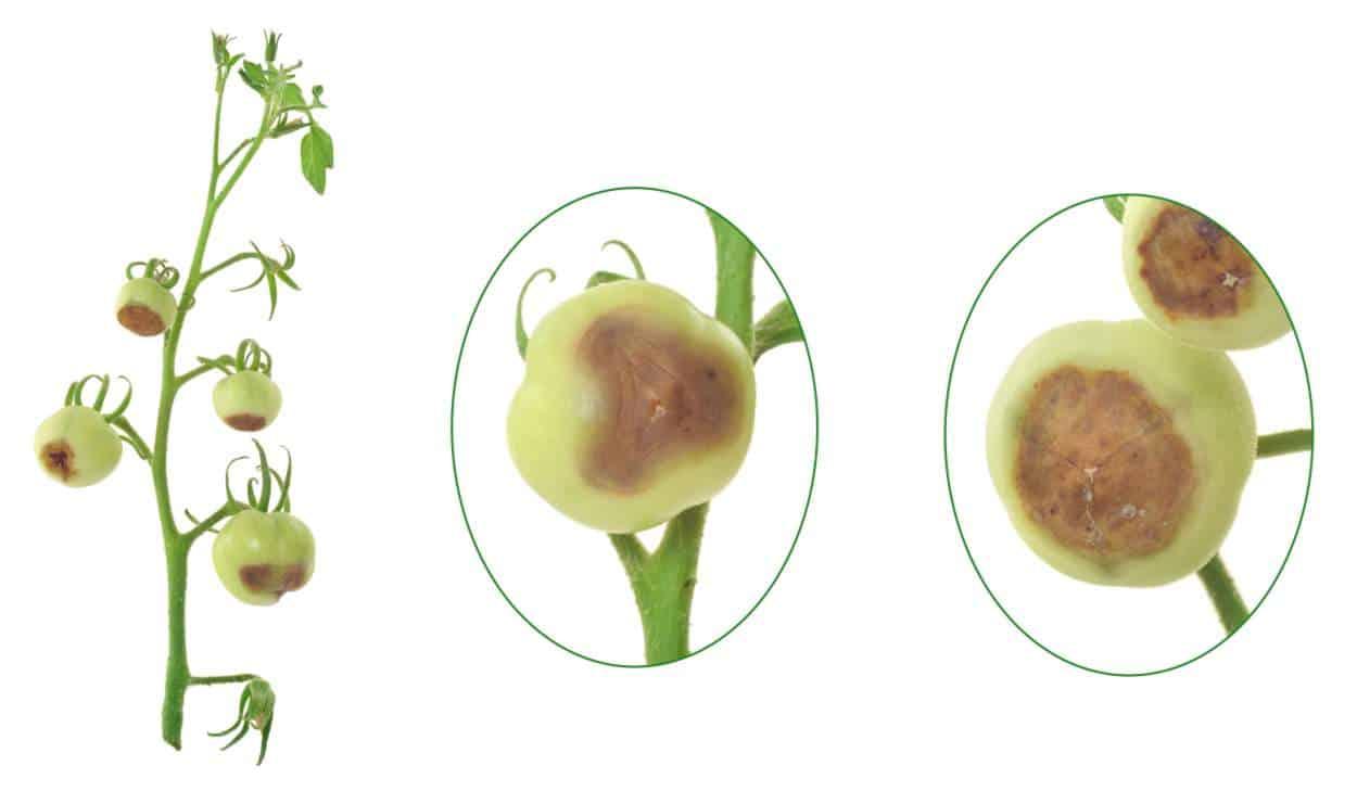marciume apicale pomodoro