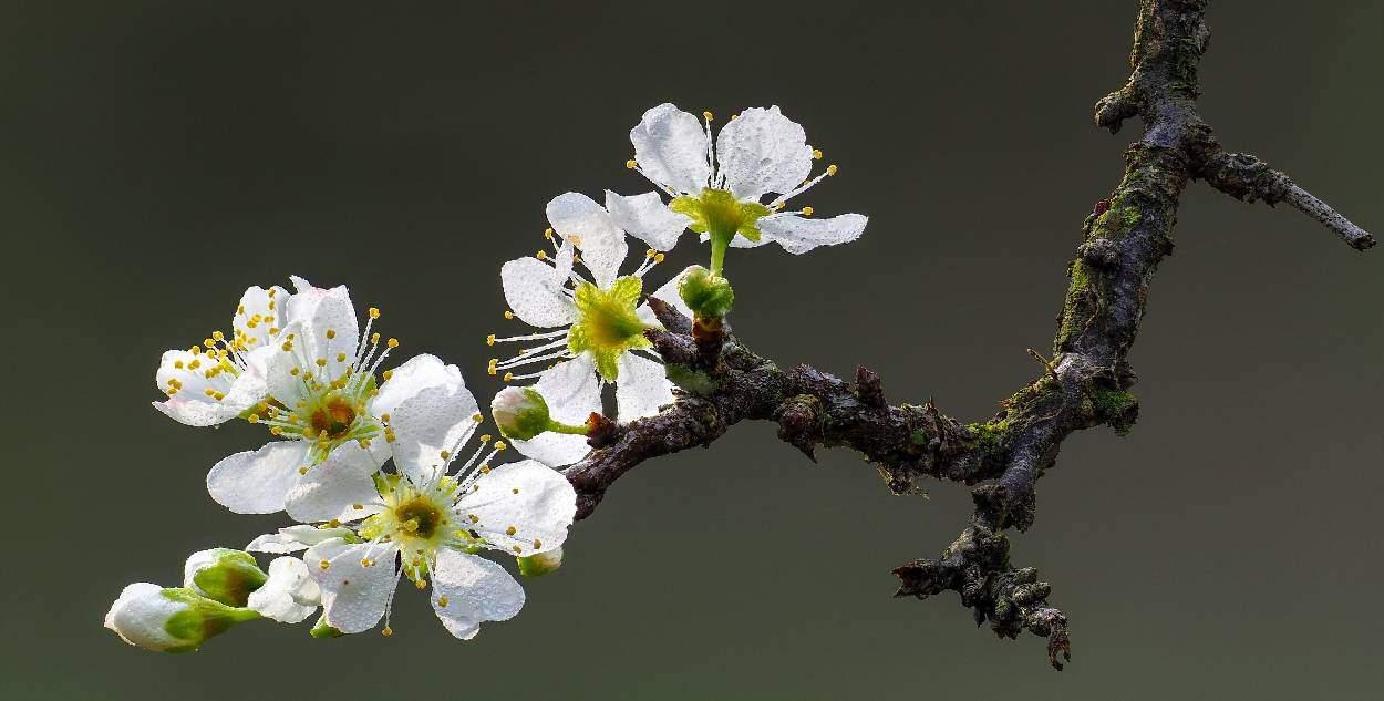 ramo di prugno con fiori