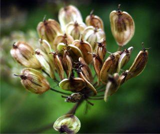 pianta di anice verde