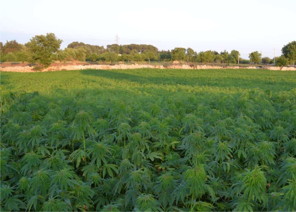 coltivazione di canapa italiana