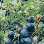 Malattie della pianta di mirtillo: prevenzione e trattamento