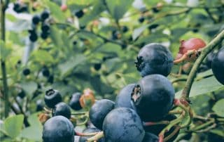 coltivazione di mirtilli