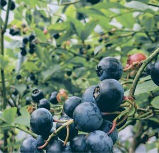coltivazione bio di mirtilli