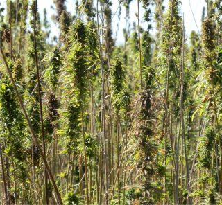 piante di canapa sativa