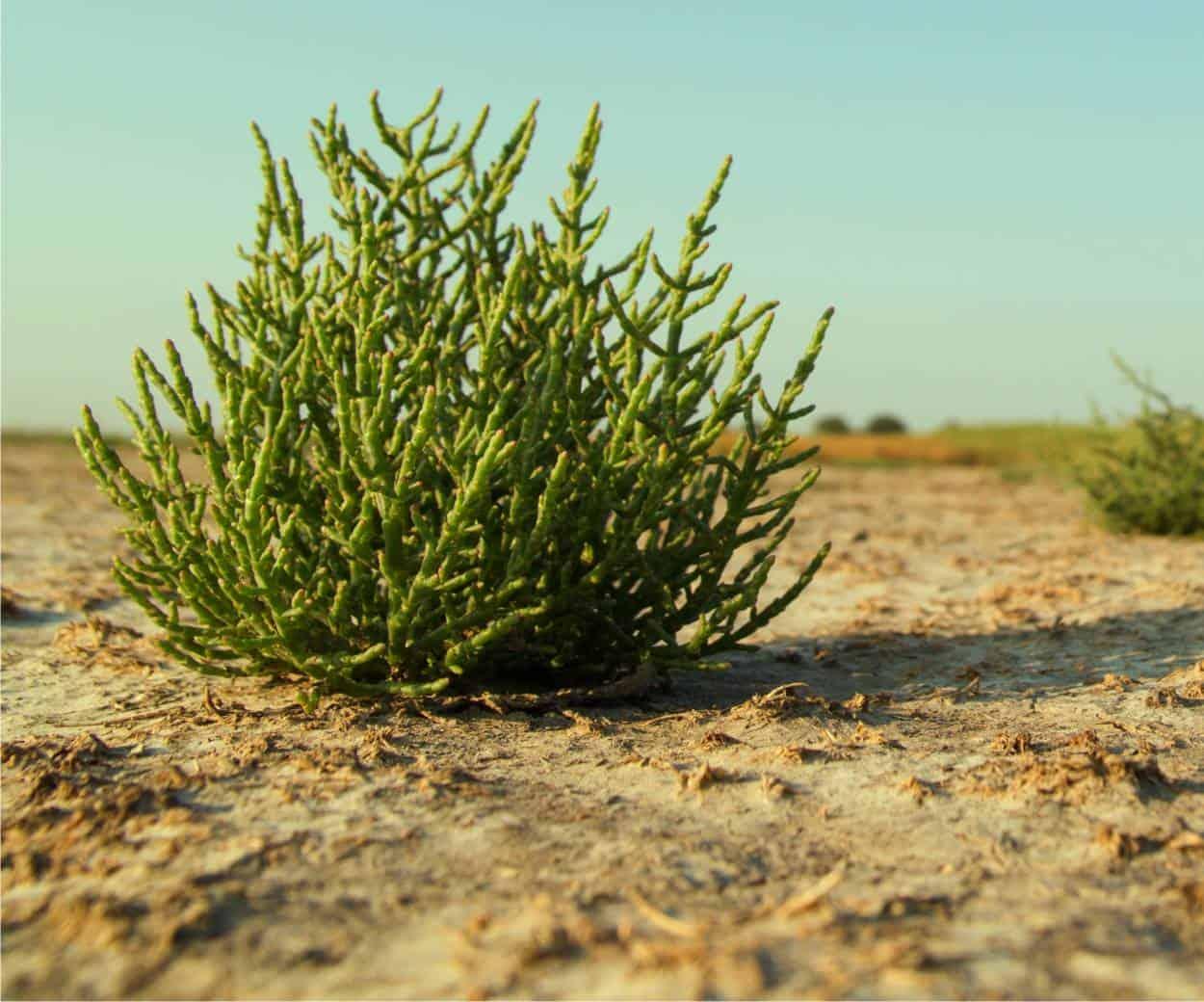 Salicornia: scopriamo l'asparago di mare
