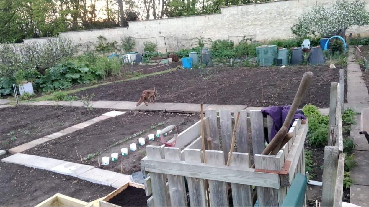 volpe nell'orto