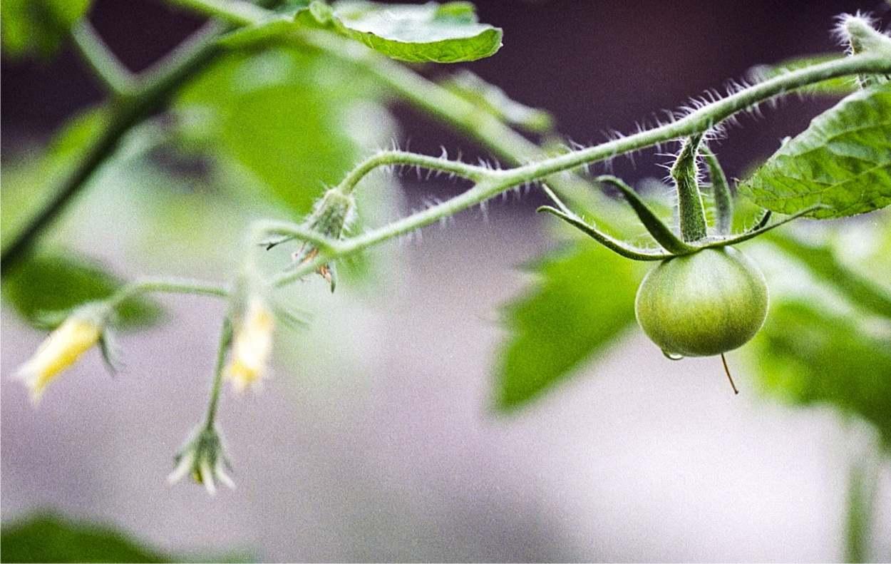 pianta di pomodori: fiori e frutti