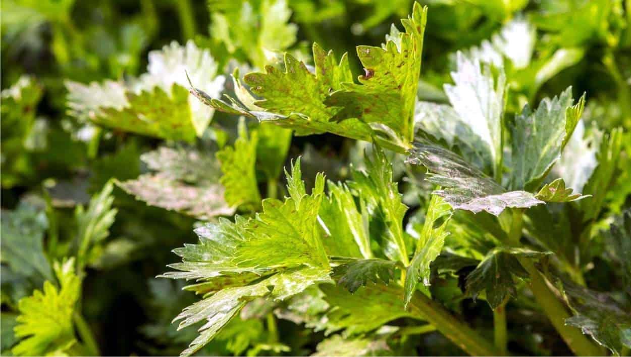 foglie di sedano