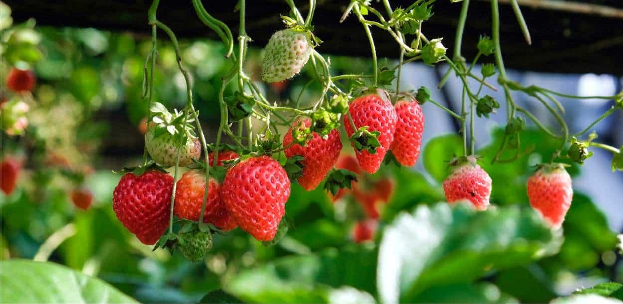 fragole coltivate correttamente