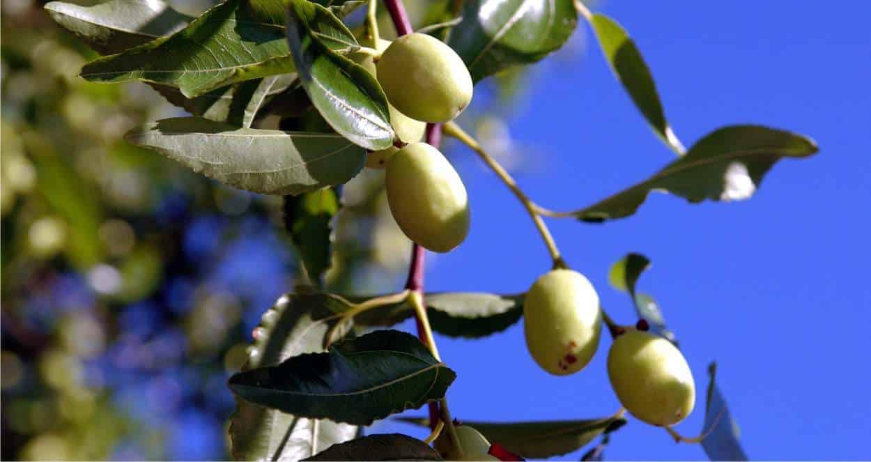 frutti del giuggiolo acerbi