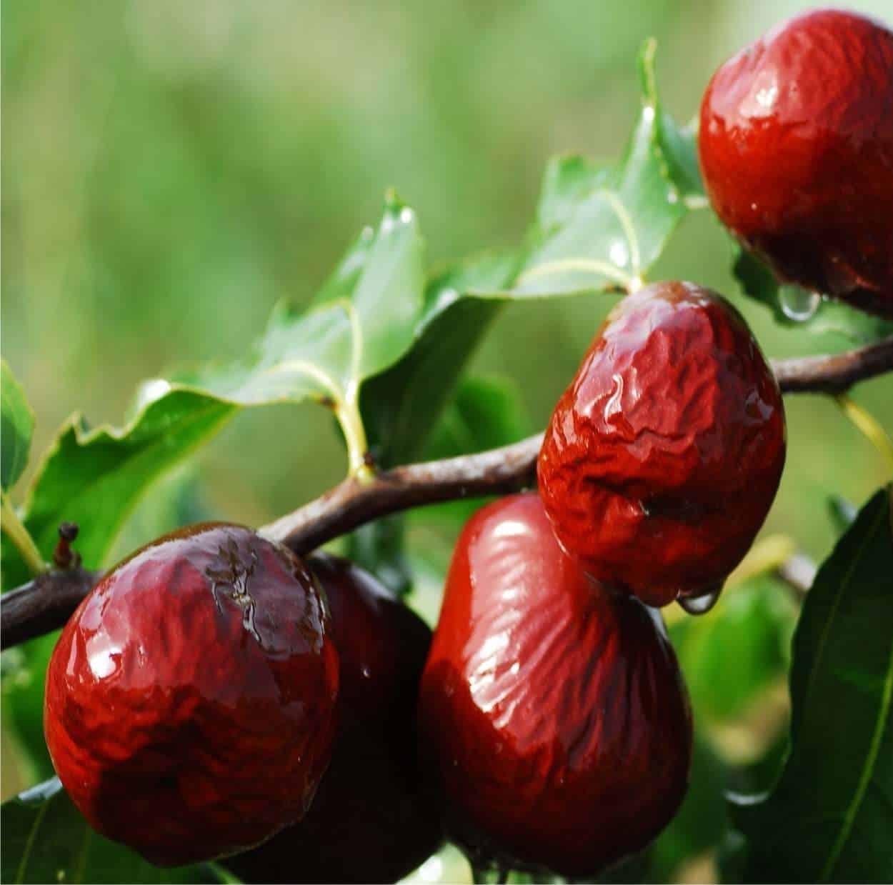 Giuggiolo: caratteristiche della pianta e coltivazione