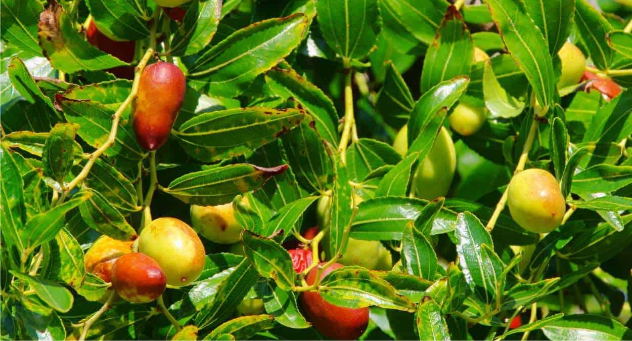 albero di giuggiole con frutti sui rami