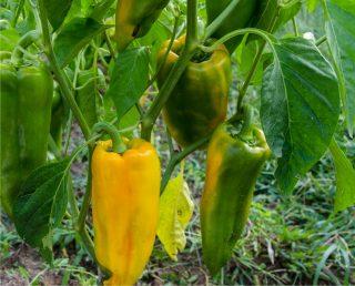 peperoni gialli sani senza insetti